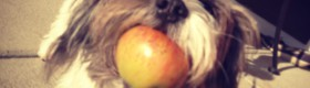 Puppy with an apple